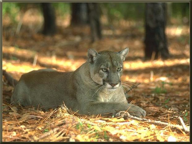 FloridaPanther_01-Cougar
