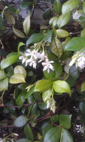 Scented Jasmine in my entryway