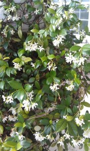 The Jasmine at my walk up